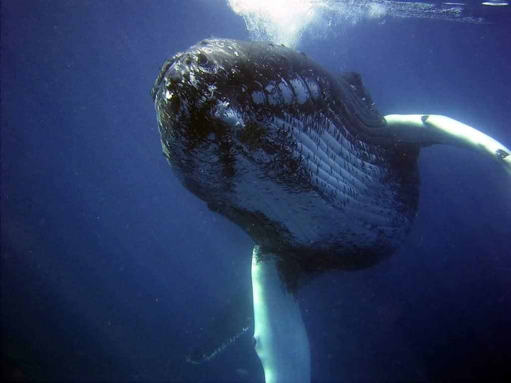 ballenas Moorea