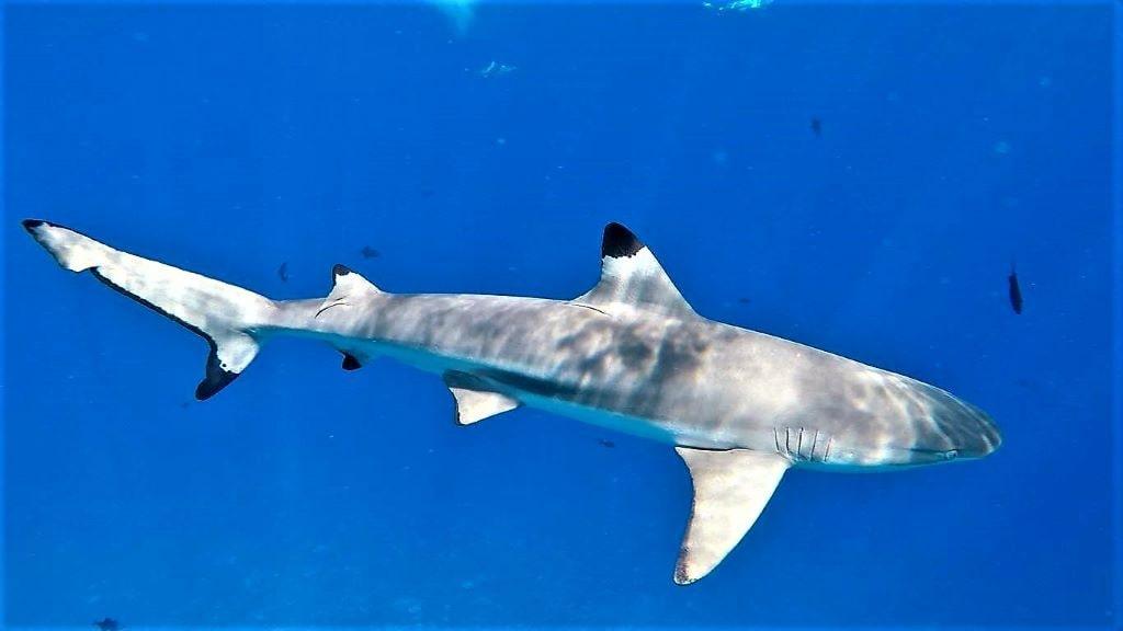 bora bora tiburon