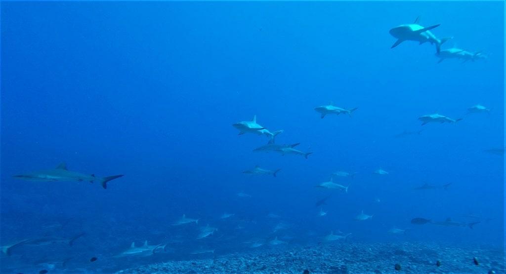 tuburon gris fakarava