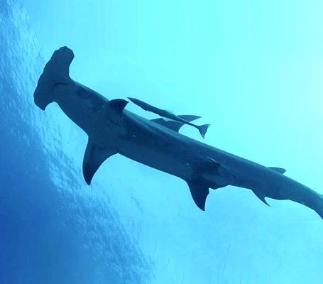 tiburon_martillo_rangiroa
